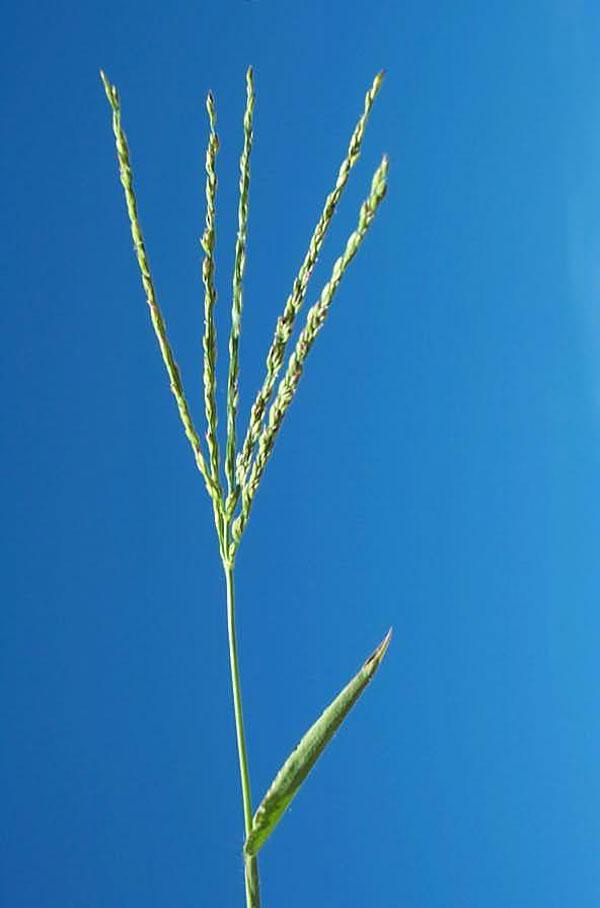 Large Crabgrass