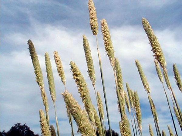 Littleseed Canarygrass