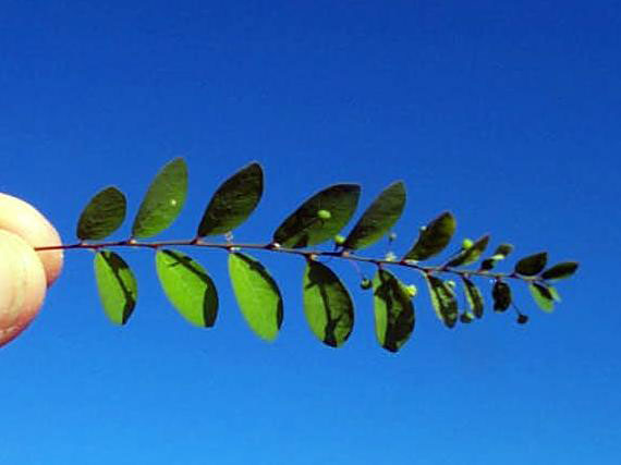 Long-stalked Phyllanthus