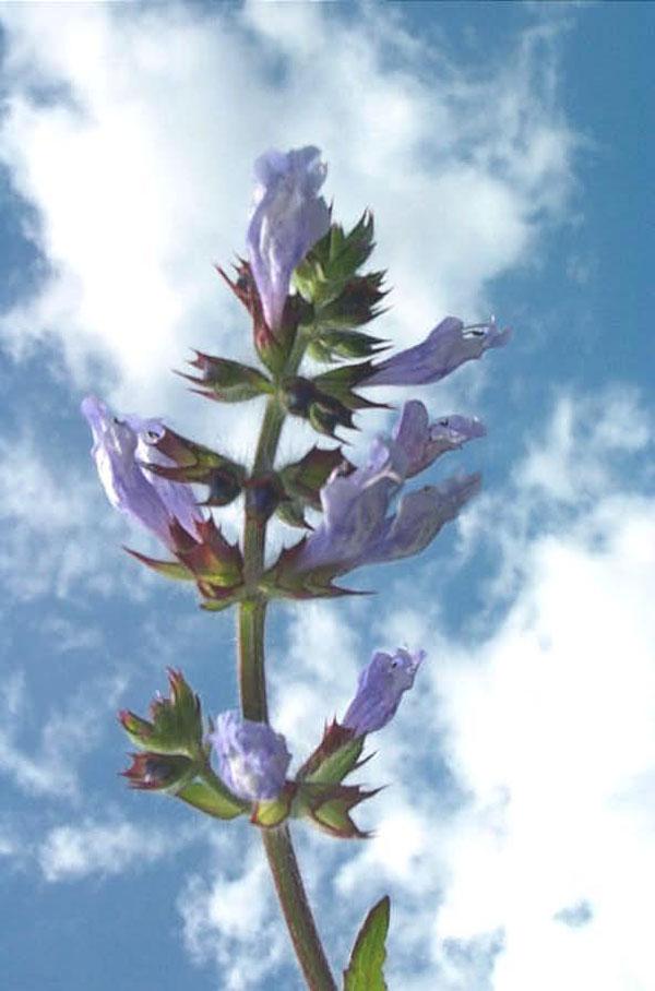 Lyre-leaf Sage