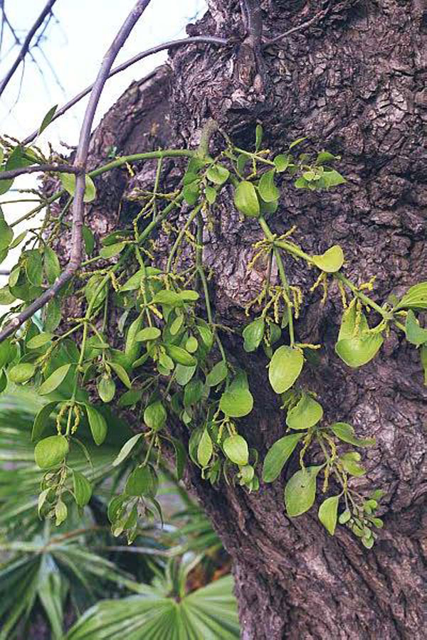 Bigleaf Mistletoe