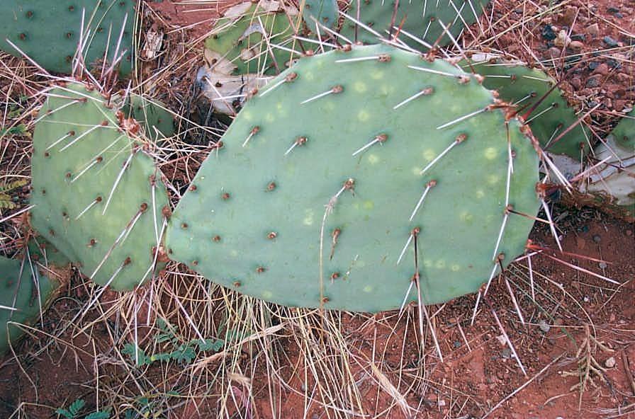 Mojave Pricklypear