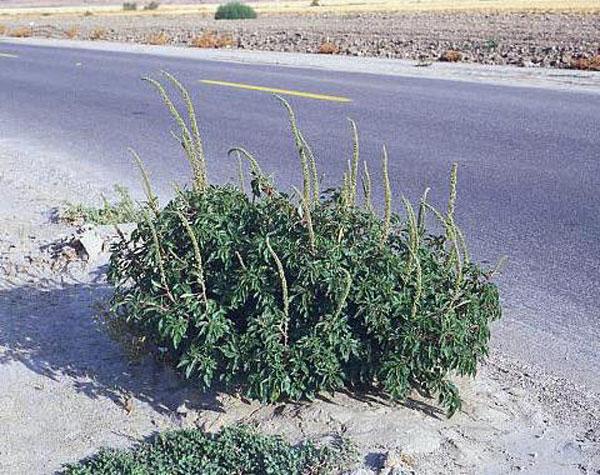 Palmer Pigweed