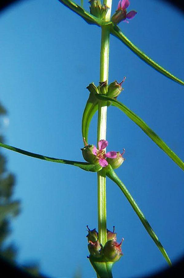 Livid Pigweed