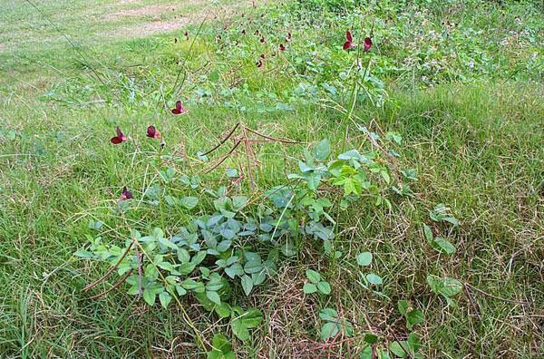 Purple Bushbean