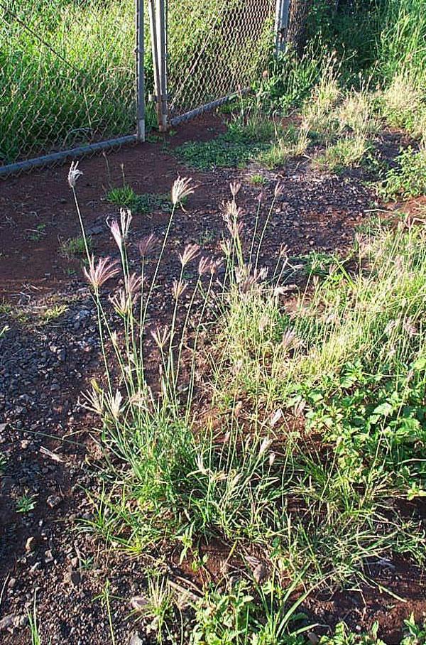 Radiate Fingergrass