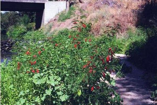 Rattlebush