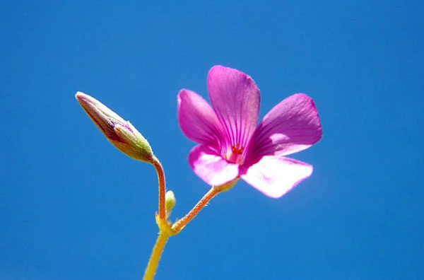 Red Oxalis