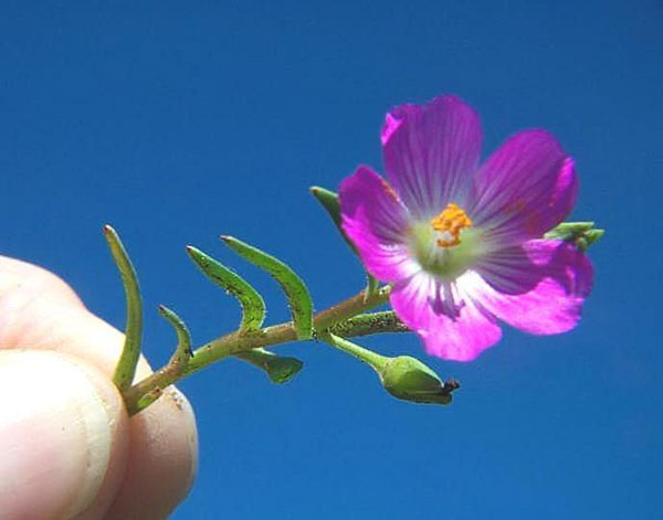 Desert Rock Purslane
