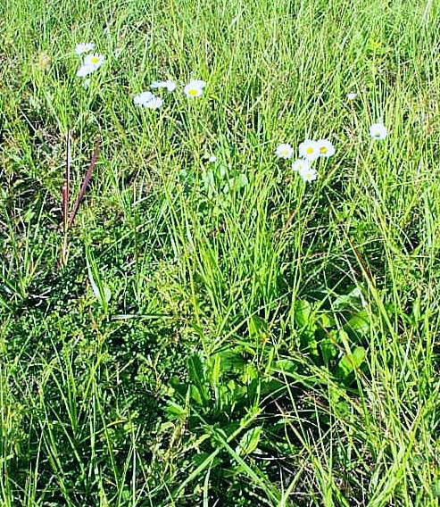 Rough Fleabane