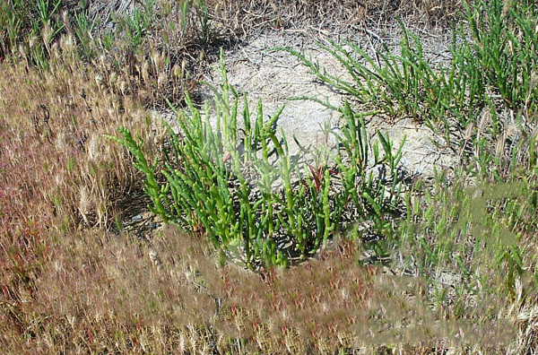 Narrow-leaved Iceplant