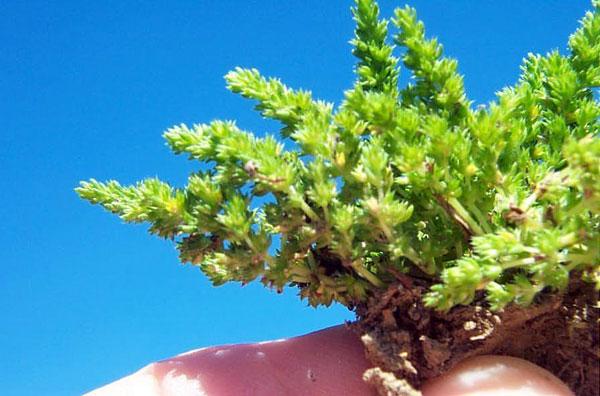 Sand Pigmyweed