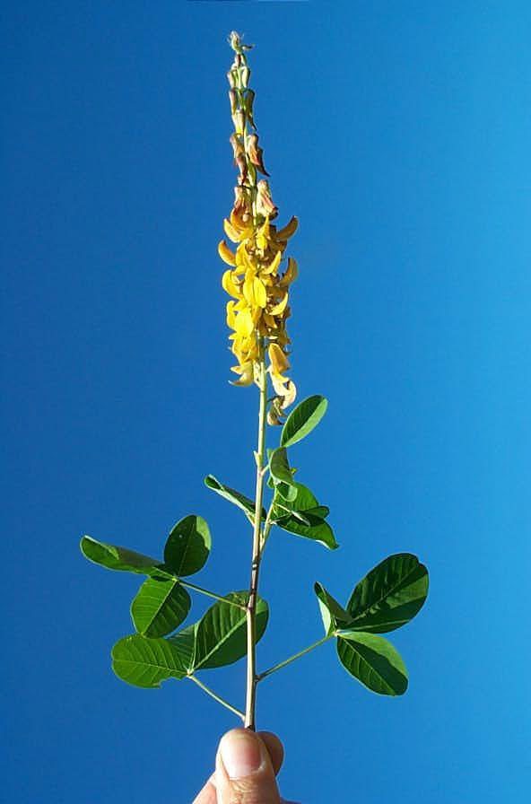 Smooth Crotalaria