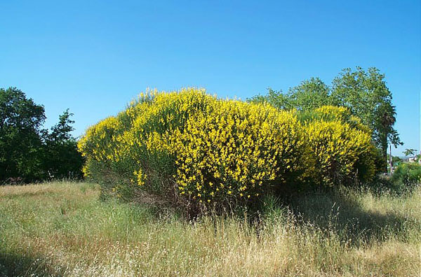 Spanish Broom