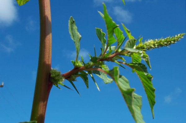 Spiny Pigweed