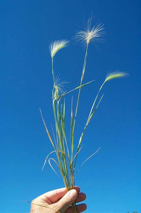 Squirreltail Grass