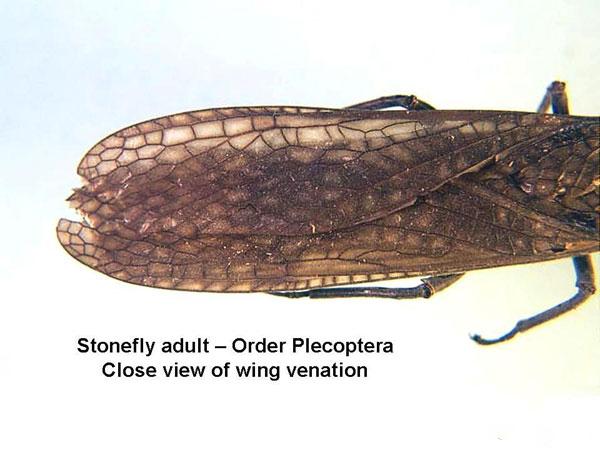 Stoneflies