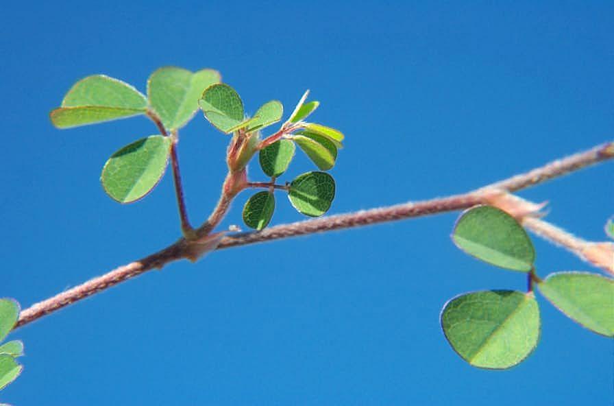Threeflower Beggarweed