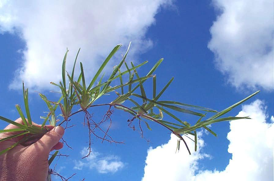 Torpedograss
