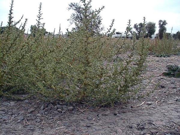 Tumble Pigweed