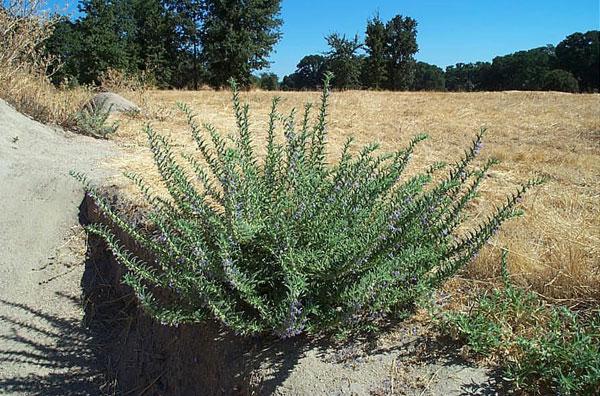 Vinegarweed