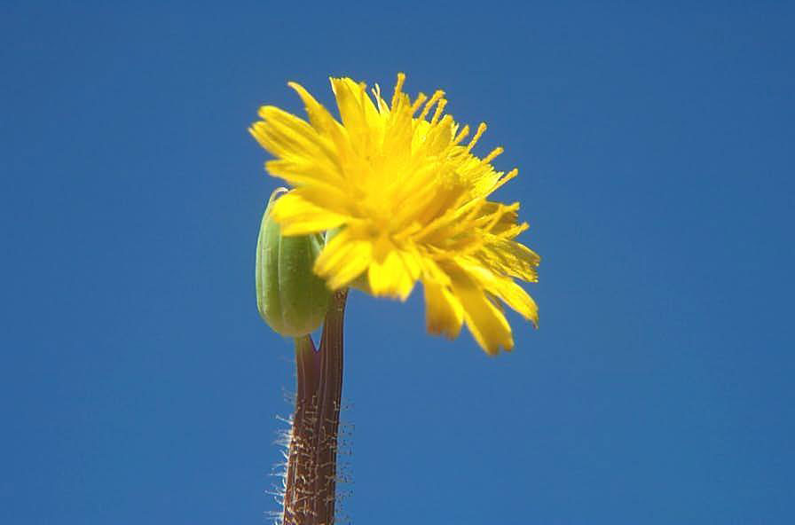 Virginia Dwarf Dandelion