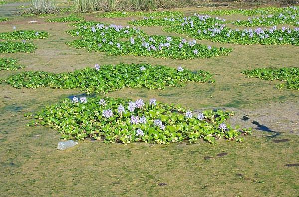 Water Hyacinth