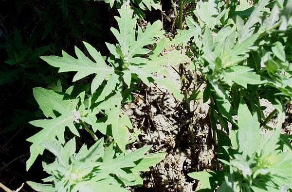Western Ragweed