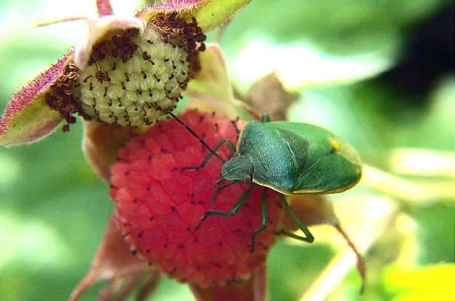 Western Thimbleberry